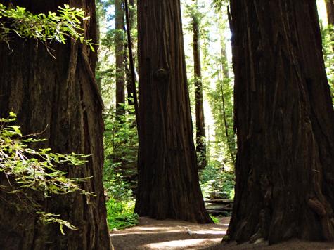 Humdoldt redwoods