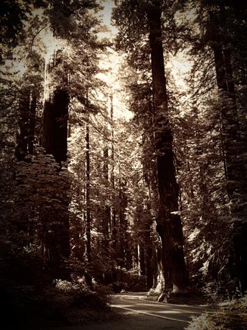 Humdoldt redwoods 2